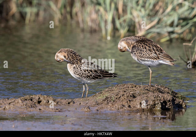 Juvenile Ruffs preening, Deepdale Marsh Norfolk late summer - Stock-Bilder