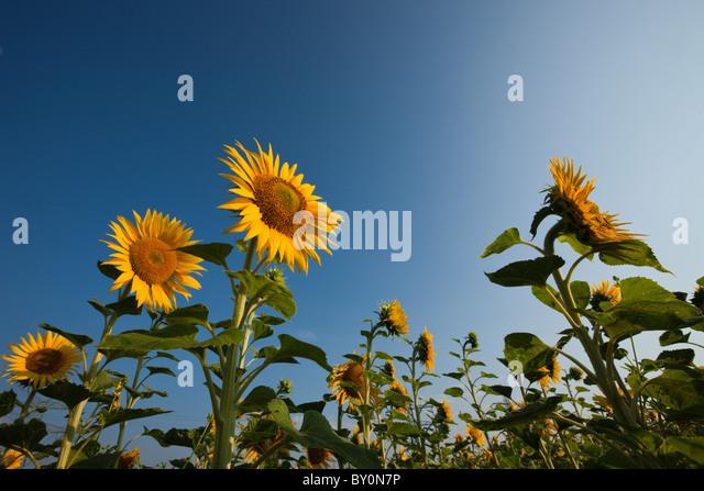 Sunflowers, Helianthus annuus, Munich, Bavaria, Germany - Stock-Bilder