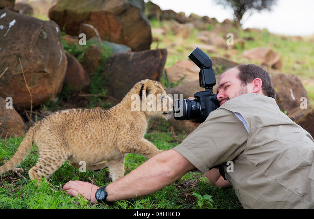 Man photographing lion cubs.model released - Stock Image