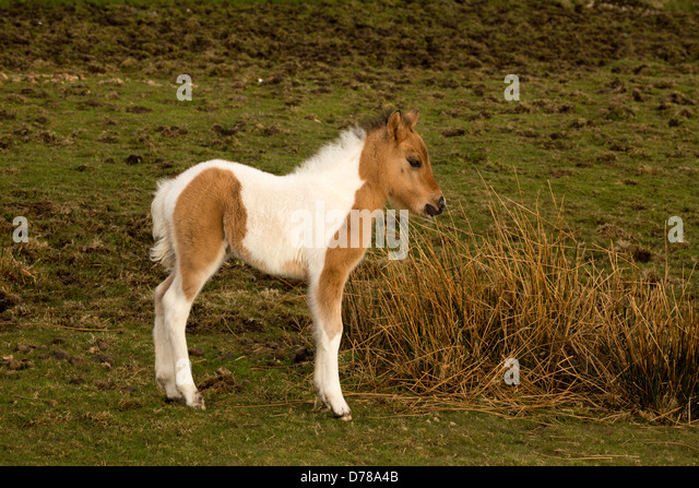 Young foal Dartmoor national park Devon Uk - Stock Image