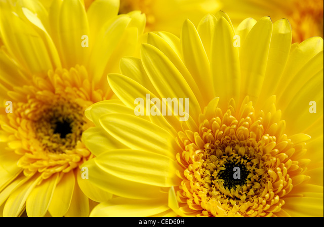 Yellow flowers background - Stock Image