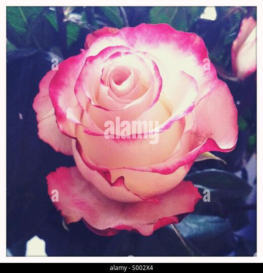 A close-up view of a red and white colored rose flower - Stock-Bilder