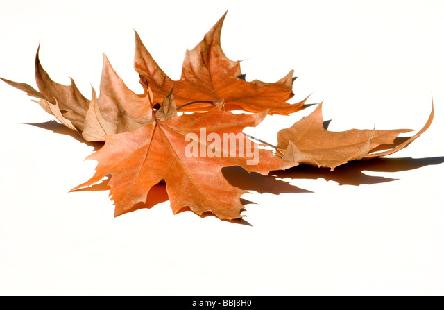 Autumn leaves close-up - Stock Image