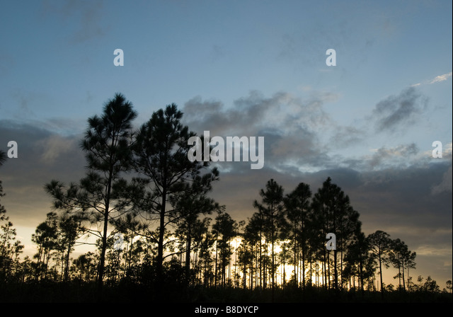 Everglades National Park Fl the pinelands sunset slash pine tree silhouettes - Stock Image