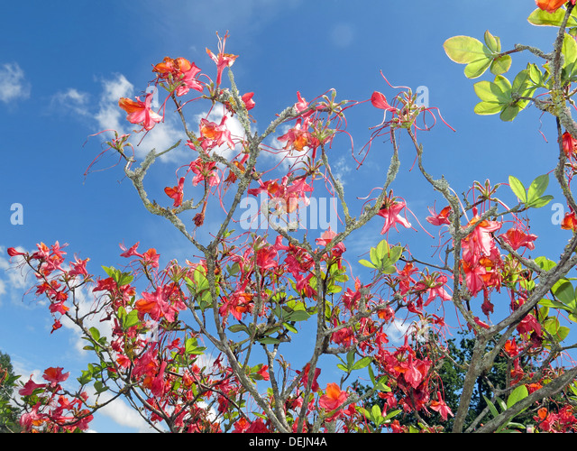 Red blossoms on a shrub at Barrington Court NT Property in Somerset, SW England, UK - Stock Image