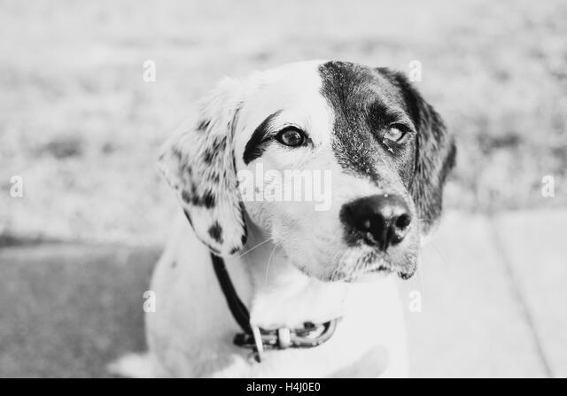 A Springer spaniel and Labrador cross - Stock Image