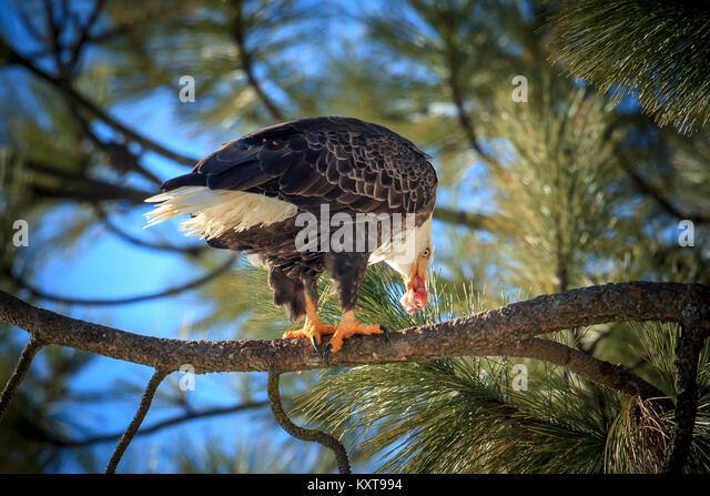 Bald eagle fish stock photos bald eagle fish stock for Fish eating eagle