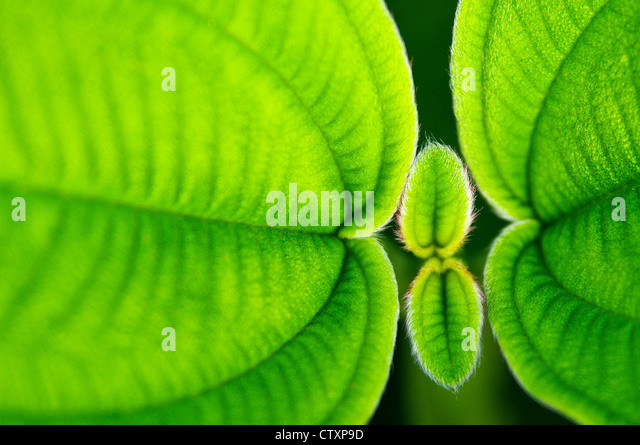 Stunning green leaf  macro shot showing the texture and vibrant colour during a war and sunny day. - Stock Image