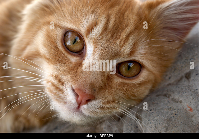 Ginger cat, cat, whiskers, yellow eyes, lion, lions head, lion pose, pink nose, ginger, regal cat, cats eyes, cat - Stock Image