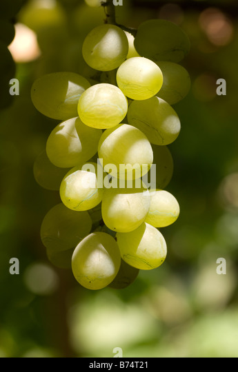Green grapes on the vine Lebanon Middle East - Stock Image