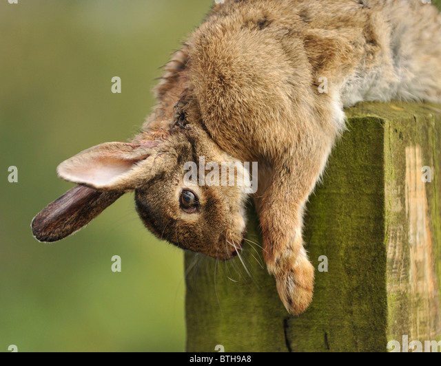 dead rabbit - Stock Image