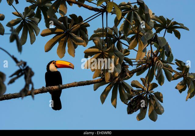 profile-of-a-toco-toucan-ramphastos-toco