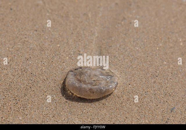 Beached jellyfish - Stock Image
