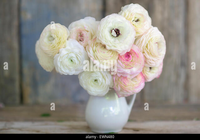 Pink and White Ranunculus in floral arrangement - Stock Image