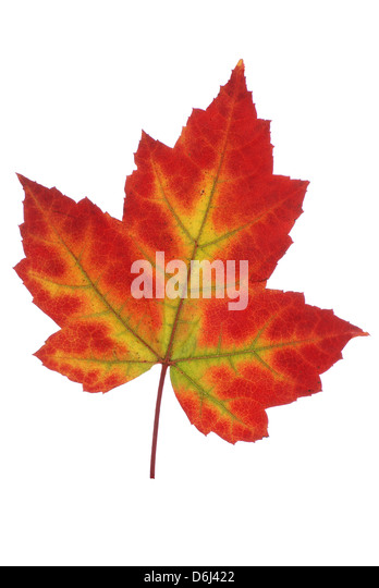 big colored maple leaf on white background - Stock Image