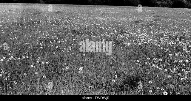 Dandelion seed heads in Cambridgeshire field - Stock Image