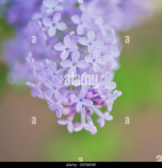 Hydrangea in spring - Stock Image