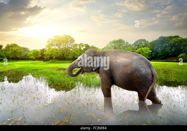Elephant, bathing in lake near green trees - Stock-Bilder