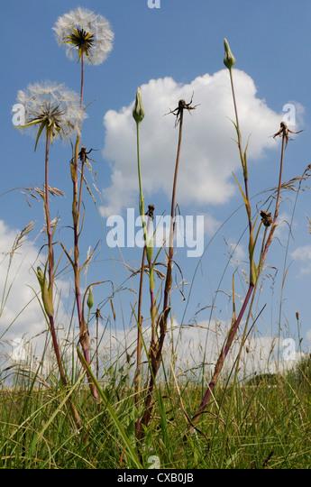 Showy goatsbeard (Jack go to bed at noon) (Meadow salsify) (Tragopogon pratensis) seedhead clocks and closed flowers, - Stock-Bilder