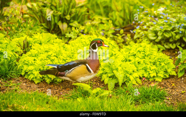 Wildlife, Male wood duck foraging for food in backyard garden, Boise, Idaho, USA - Stock Image