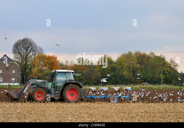 gulls (Larinae), tractor  plowing a field followed by a flock of gulls, Germany, North Rhine-Westphalia, Ruhr Area, - Stock Image