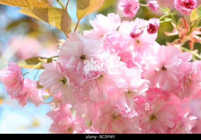a taste of spring prunus japanese cherry blossom shirofugen fine art photography Jane Ann Butler Photography JABP458 - Stock Image