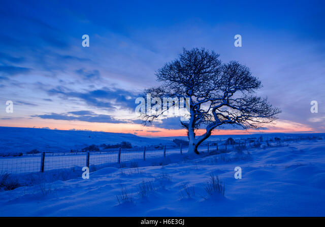English oak tree, latin name Quercus robur, in winter covered in snow at daybreak in North York Moors national park - Stock Image