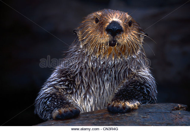 Sea Otter, Seattle, Washington - Stock Image