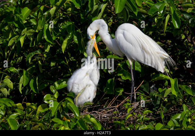 Hungry White Egret chicks have learned where the food comes from and grasp their parent's bill to be fed. - Stock Image