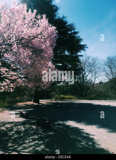 Park with cherry blossom tree in Spring. - Stock Image
