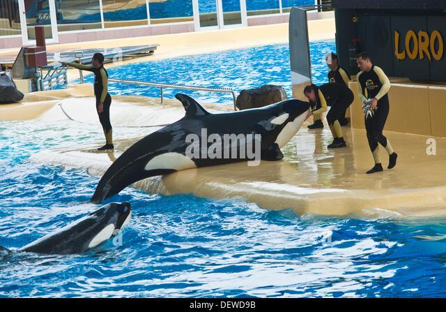 Killer whales Show  Loro Parque  Puerto de la Cruz  Tenerife  Canary Islands  Spain. - Stock Image