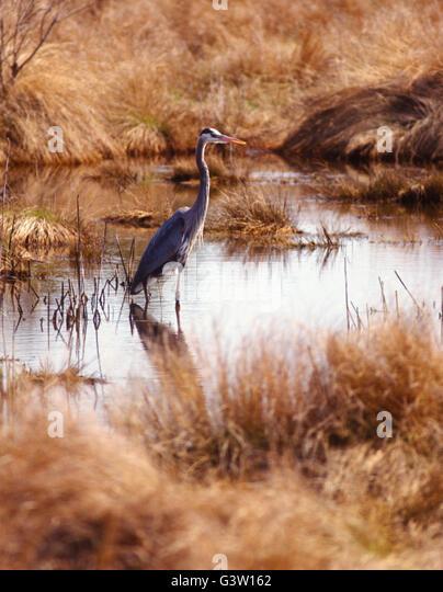 Great Blue Heron at sunrise; Chincoteague National Wildlife Refuge; Assateague Island; Virginia; USA - Stock-Bilder