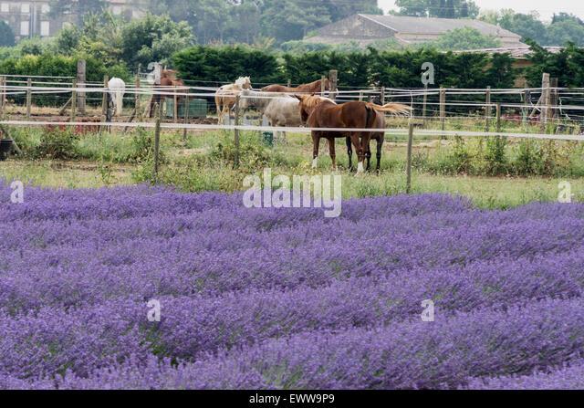 Horse farm, Lavender, Camarque, Bouche du Rhone, France - Stock Image