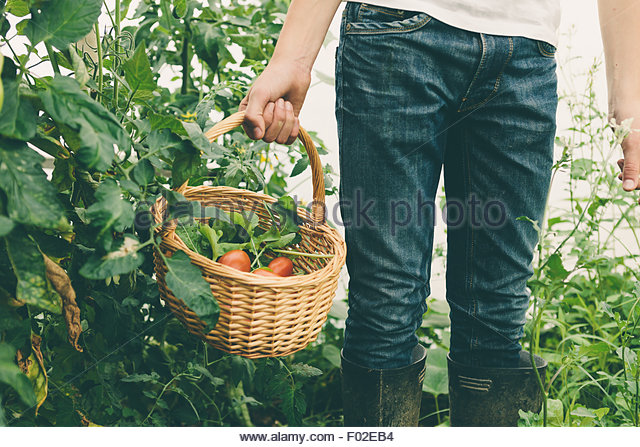 Mid section of a Boy holding a basket of fresh tomatoes - Stock Image