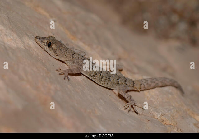Gecko Gekkonidae Stock Photos Amp Gecko Gekkonidae Stock