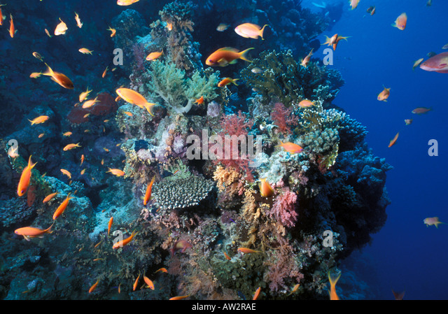 Egypt underwater Red Sea coral reef with schooling orange reef fish over plate corals  at sharm el sheik - Stock Image