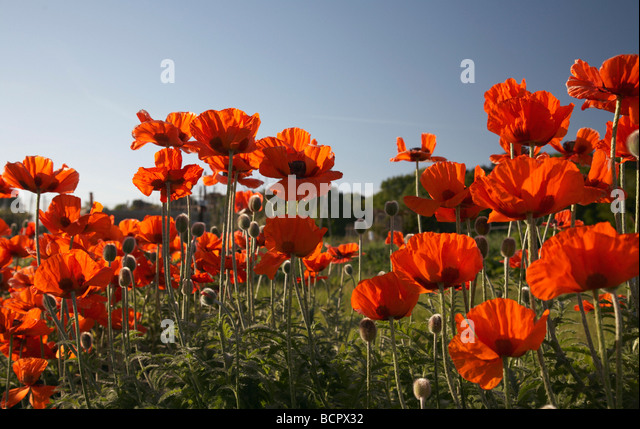 Papaver, abundant backlit wild red poppies in a field against a blue sky. - Stock-Bilder