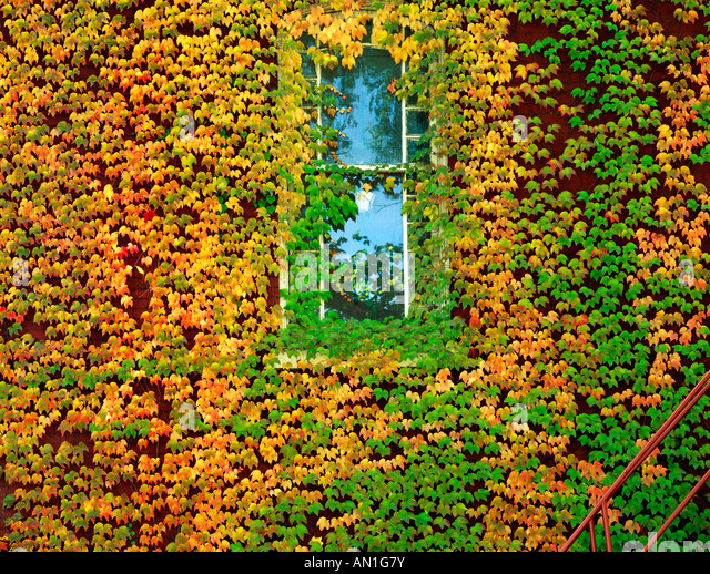 Ivy In Autumn Growing Around A Window At The Town Hall, Philipsburg Borough, 1887, Centre County, Pennsylvania, - Stock Image