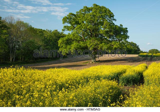 A field of oil seed rape on the Sherborne estate, Dorset, England, UK - Stock-Bilder