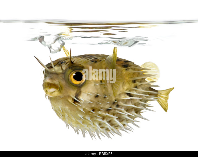 Long spine porcupinefish also know as spiny balloonfish Diodon holocanthus in front of a white background - Stock-Bilder