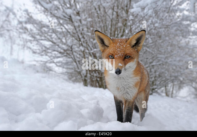 European Red Fox (Vulpes vulpes) in snow, UK, captive - Stock Image