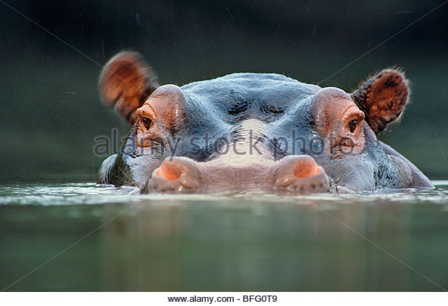 Hippopotamus surfacing, Hippopotamus amphibius, Garamba National Park, Democratic Republic of Congo - Stock-Bilder