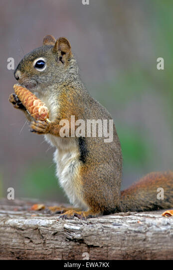 Red Squirrel sitting on old log feeding on spruce cone - Stock Image