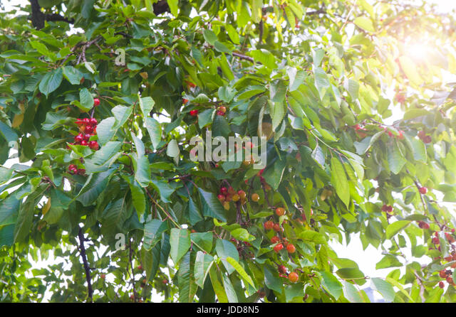 Sunshine on cherries on a cherry tree - Stock Image