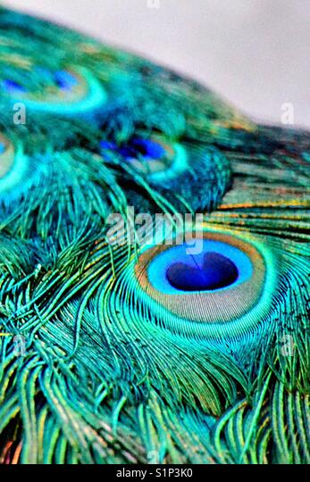 Peacock plume detail - Stock Image