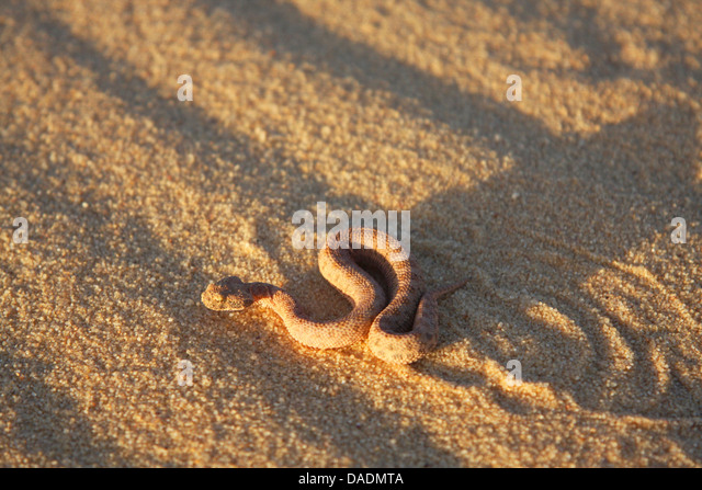 viper wiggling away in evening light, Algeria, Tamangasset, Tassili du Hoggar - Stock Image