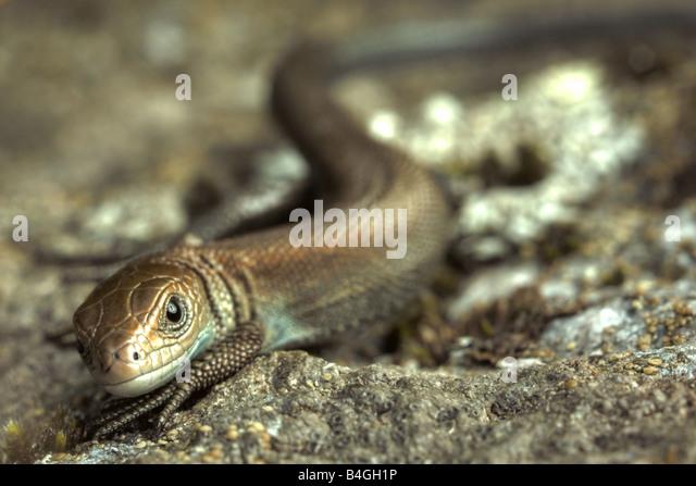 Young european common lizard (Lacerta vivipara) - Stock Image