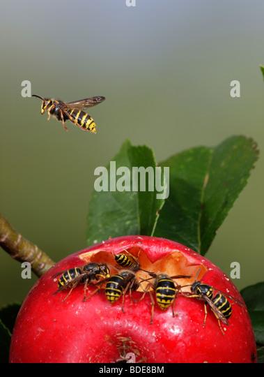 Median wasps Dolichovespula media and Common wasps Vespula vulgaris feeding on fallen apple - Stock-Bilder