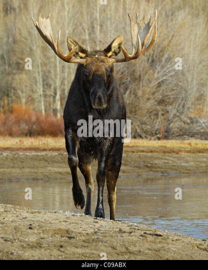 Bull Moose approaching from the water in Grand Teton National Park. - Stock Image