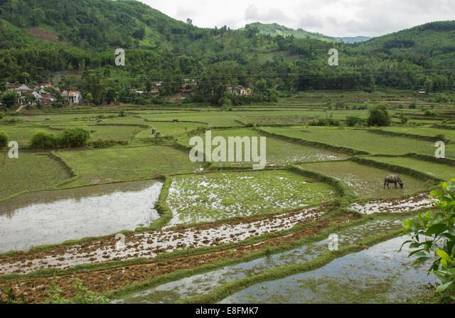 Vietnam, Rice fields - Stock Image